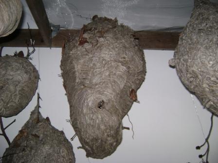 Large Dolichovespula Maculata nest (Bald Faced Hornet) - Dolichovespula maculata