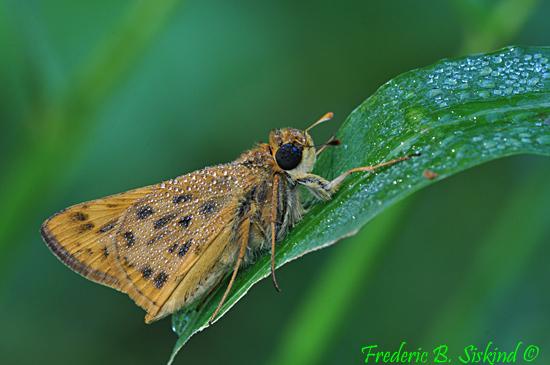 Skipper (DBU671) - Hylephila phyleus