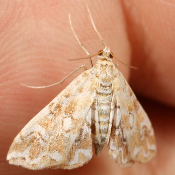 Crambid - Elophila icciusalis