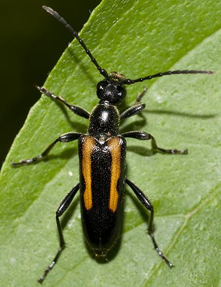 Flower Longhorned Beetle - Strangalepta abbreviata