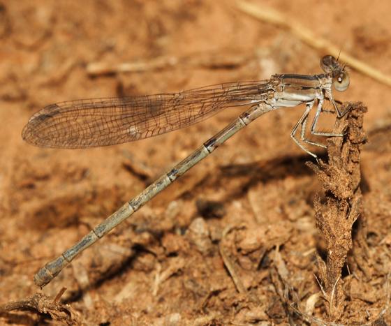 California Dancer - Argia agrioides - female
