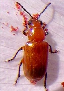 Pteleon brevicornis (Jacoby) - Pteleon brevicornis