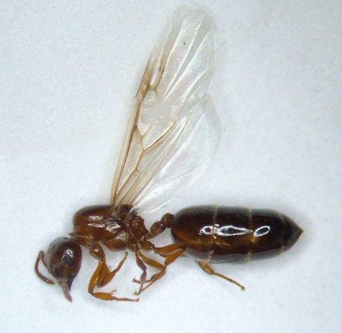 Ant 10 - Crematogaster - female