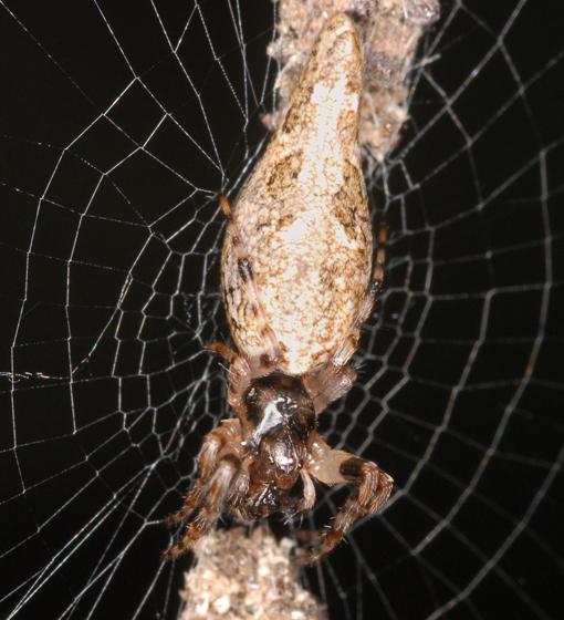 trashline spider - Cyclosa caroli
