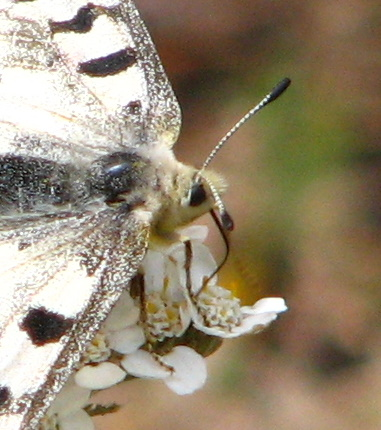 Parnassius smintheus - female