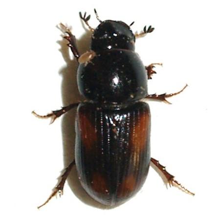 Aphodius sp. - Planolinellus vittatus