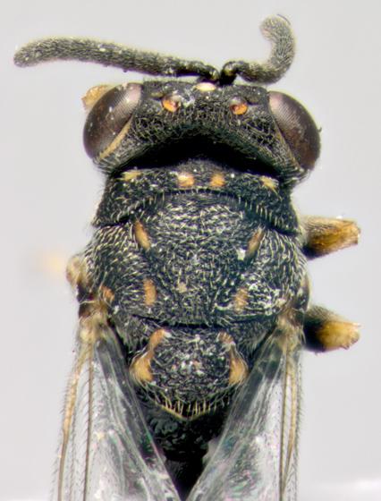 Chalcididae, dorsalX - Conura