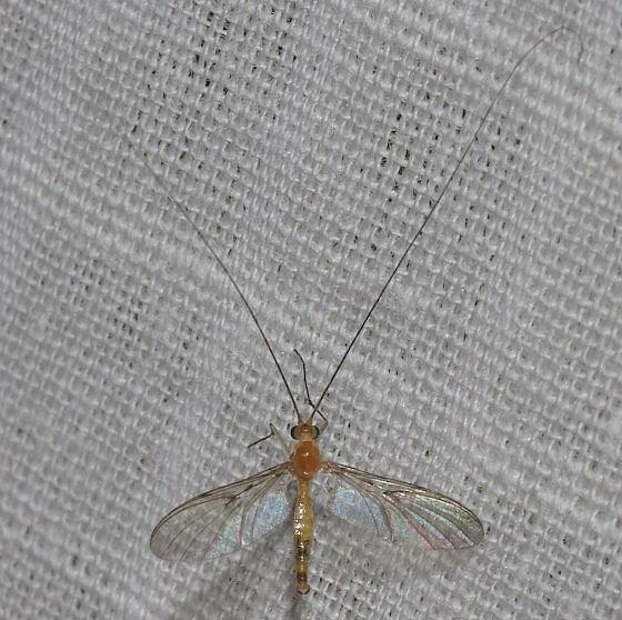 Wasp - Macrocera - male