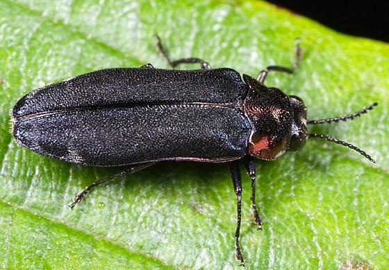 Beetle ID - Eupristocerus cogitans