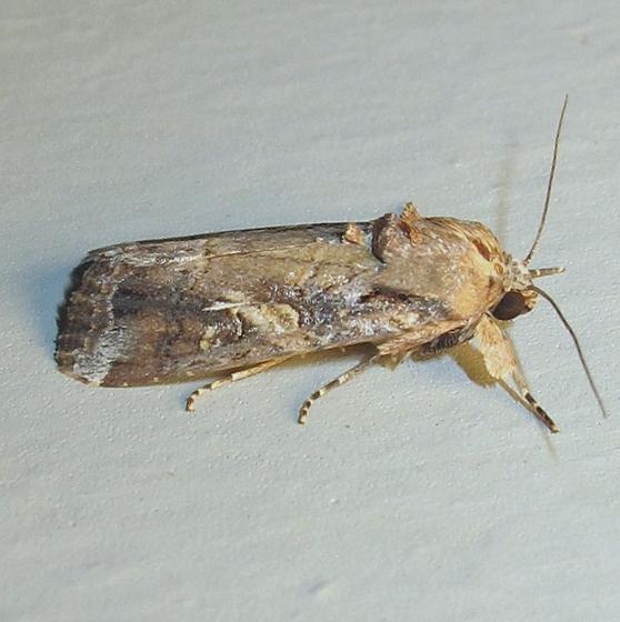Hodges#9666 - Fall Armyworm Moth - Spodoptera frugiperda - male