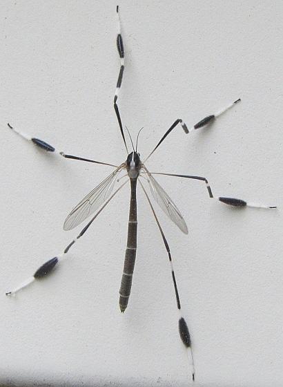 Phantom Crane Fly Bittacomorpha Clavipes Bugguide Net