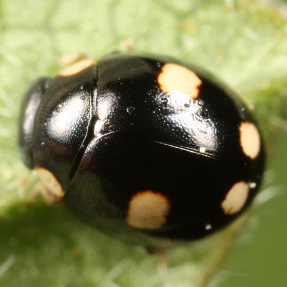 Yellow ladybug with black spots
