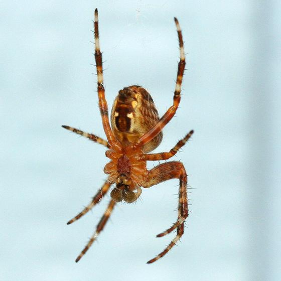 Cross Spider - Araneus diadematus - male