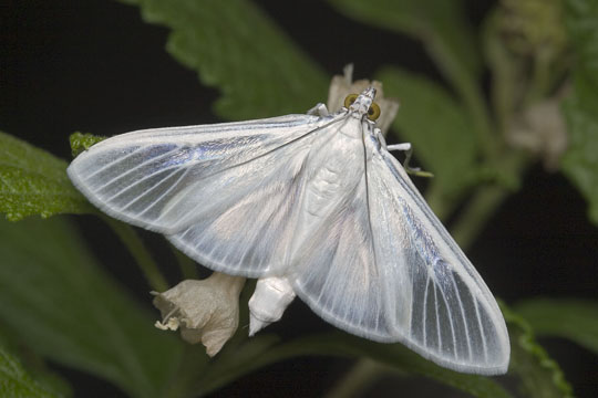 Satin White moth - Palpita flegia