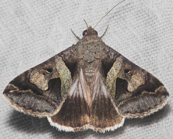 Hodges#8598 - Melipotis florida
