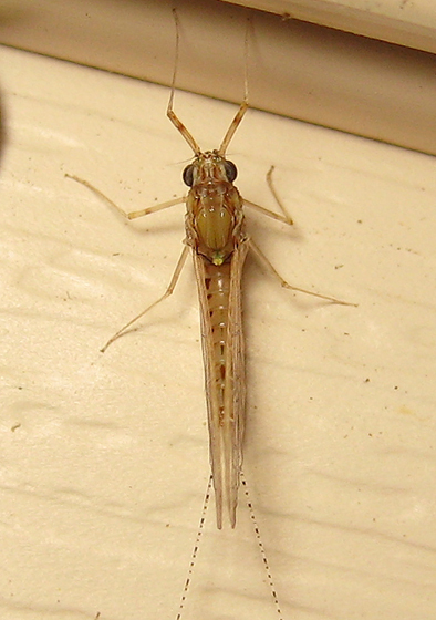 Cloeon dipterum - female