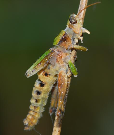 fungus victim - Dichromorpha viridis