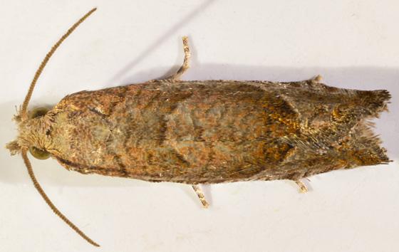Micro Moth - Pelochrista derelicta