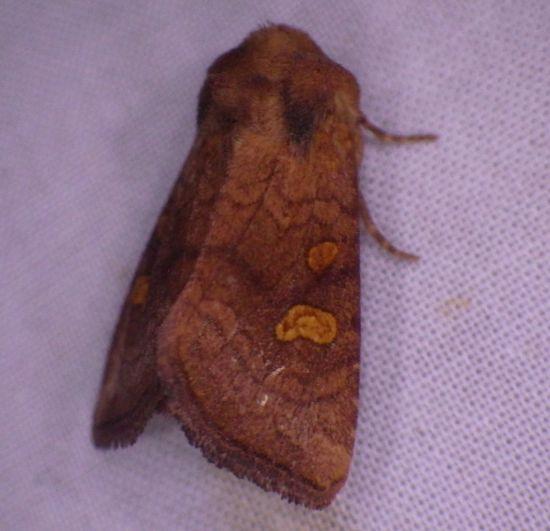 Oregon June - Amphipoea pacifica