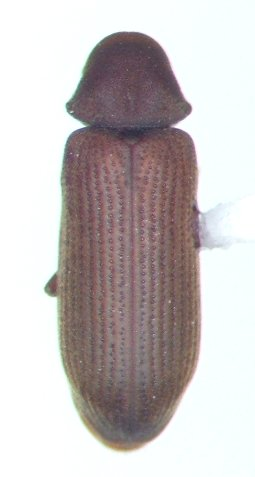 Anobiid - Hemicoelus carinatus