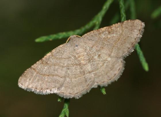 a brown lined Moth - Digrammia ordinata