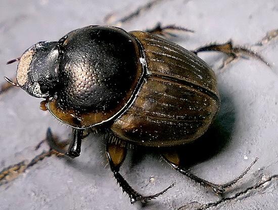 dung beetle - Digitonthophagus gazella