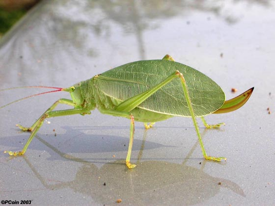 Common True Katydid - Pterophylla camellifolia - female