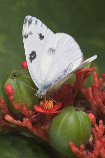 Checkered White - Pontia protodice - male