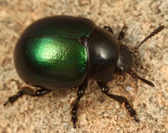 green and black leaf beetle - Leptinotarsa haldemani