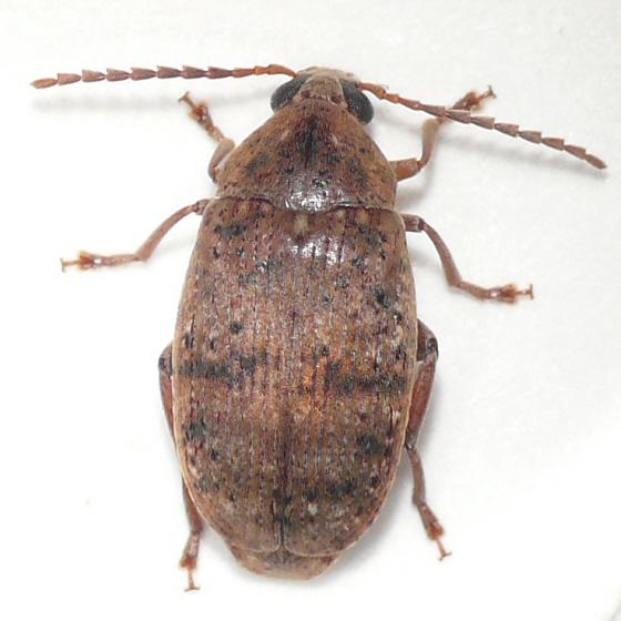 Amblycerus robiniae