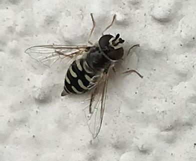Yellow and black hoverfly adult, Reno Nevada  - Eupeodes volucris