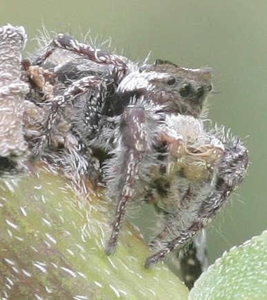 Salticidae - ? - Phidippus carolinensis