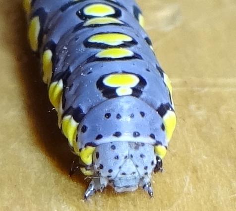 Caterpillar - Sympistis sorapis