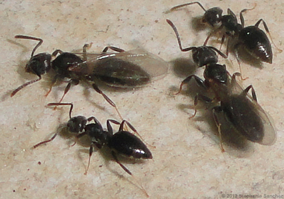White Footed Ants - Technomyrmex difficilis