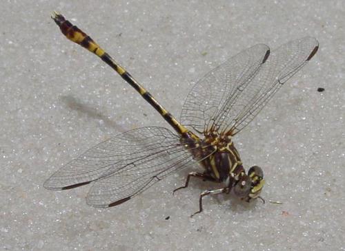 Tawny Sanddragon--Progomphus alachuensis - Progomphus alachuensis