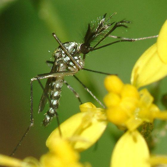 Male mosquito? - Ochlerotatus hendersoni - male