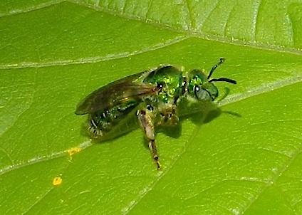 Green Sweat Bee - Agapostemon