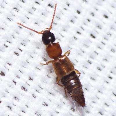 Large Rove Beetle - Lithocharis