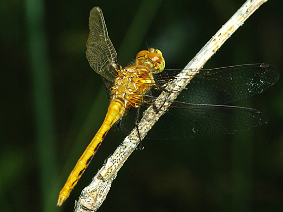Dragonfly (Meadowhawk) - Sympetrum - male