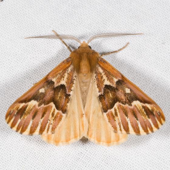 Caripeta aequaliaria - male