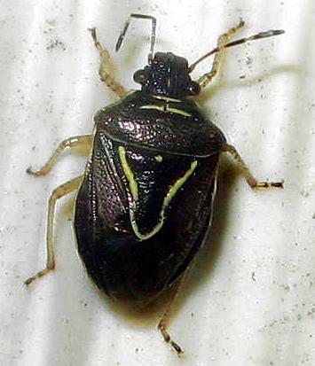 Stink Bug - Mormidea lugens