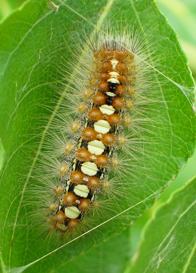 Satin Moth Caterpillar - Leucoma salicis