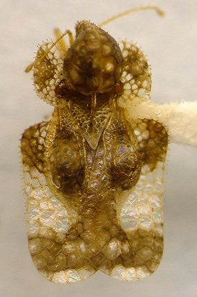 Lace bug - Corythucha cydoniae