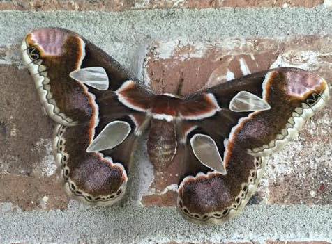 Moth - Rothschildia forbesi