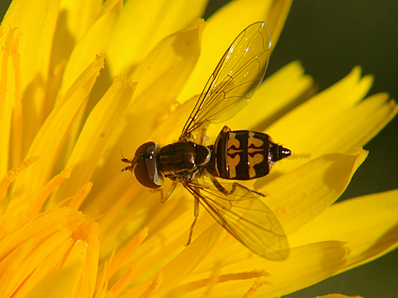 Syrphid Fly - Toxomerus occidentalis - female