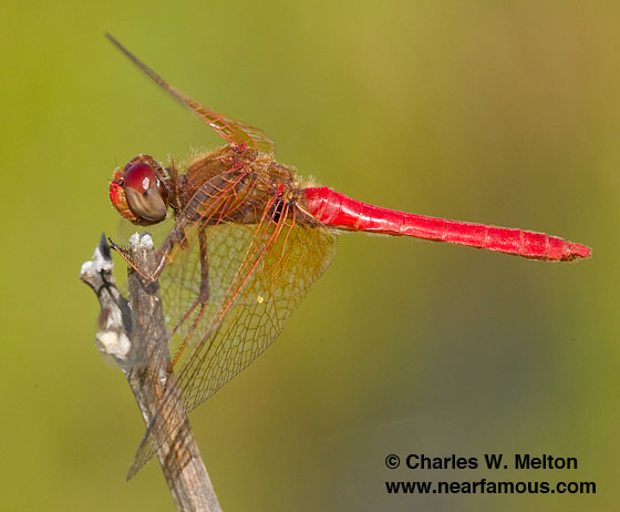 Cardinal Meadowhawk - Sympetrum illotum - male