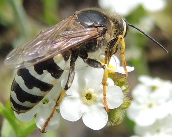 Hairy Hymenoptera - Bembix