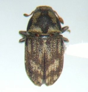 Hylesinus pruinosus