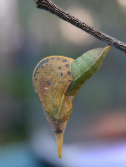 Orange-barred Crysalis - Phoebis philea