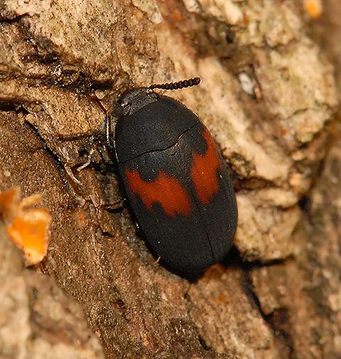 Chrysomelidae? - Platydema ellipticum